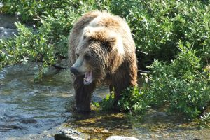 Bears of Katmai - Seward